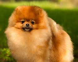 Por qué el pomerania es la raza de perro perfecto si vives en ciudad